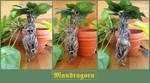 Mandragora Root II by der-Alchemist