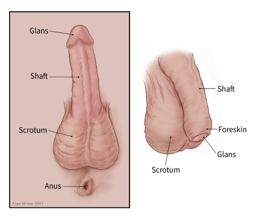 is shrinking clitoris Why my