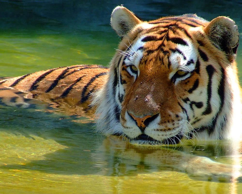 Tiger by PrimalOrB