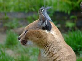 Lynx by PrimalOrB