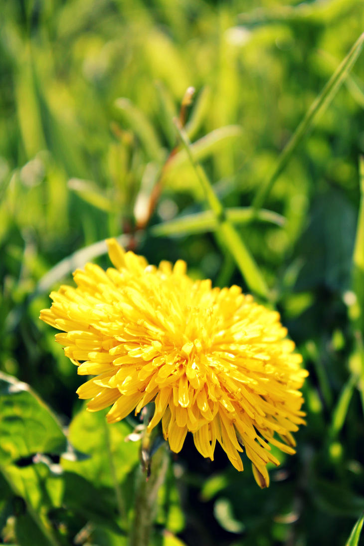 Dandelion in the Spring by AutumnVisionary