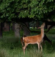 Deer Stock.1 by DigitalDreamersStock