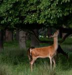Deer Stock.1