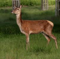 Deer Stock.2 by DigitalDreamersStock