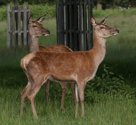 Deer Stock.4 by DigitalDreamersStock