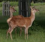 Deer Stock.4
