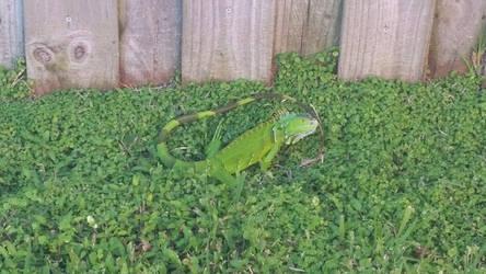 Second photo of first Iguana