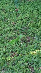 Second Iguana in my backyard