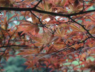 Japanese Red Maple Tree by xCrimsonWolf