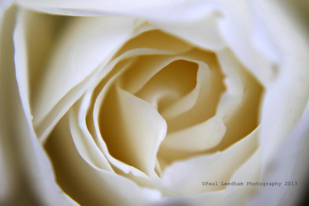 white rose by didyabringyagrog