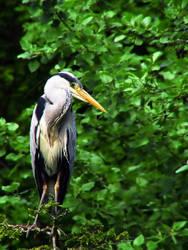 Heron 2 by KJSummerfield
