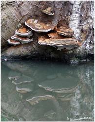'Reflections of  ol' Fungus' by KJSummerfield