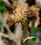 Desiccated Flower by cmartin89