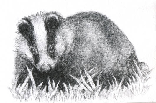 Badger Sketch
