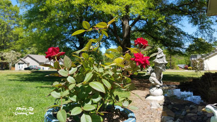 Miniature Rose by grazerone