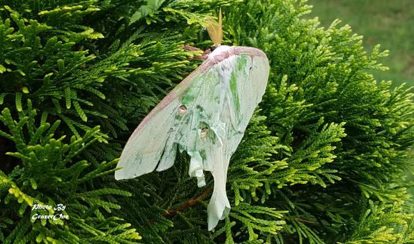Mothra resting