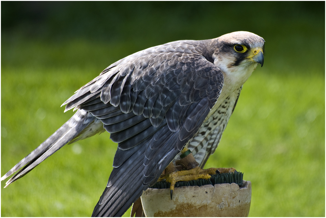 Lanner Falcon by Naifud