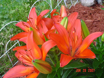 Lilies Two by BVicius