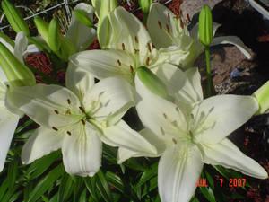 White Lilies Three