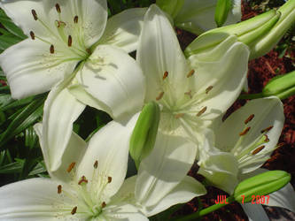 White Lilies Four by BVicius