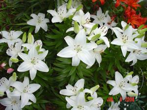 White Lilies Five