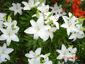White Lilies Seven by BVicius