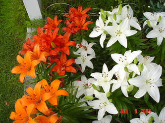 Lilies Three by BVicius