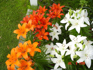 Lilies Four