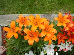 Lilies Five