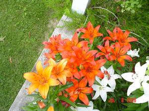 Lilies Six