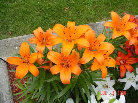 Lilies Nine