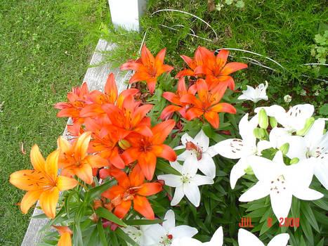 Lilies Ten