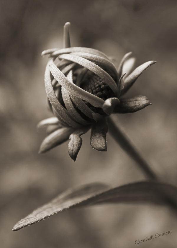Sepia In Bloom by Oarthias