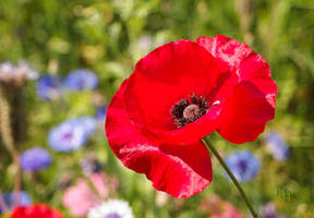 Red Poppy by JoannaMoory
