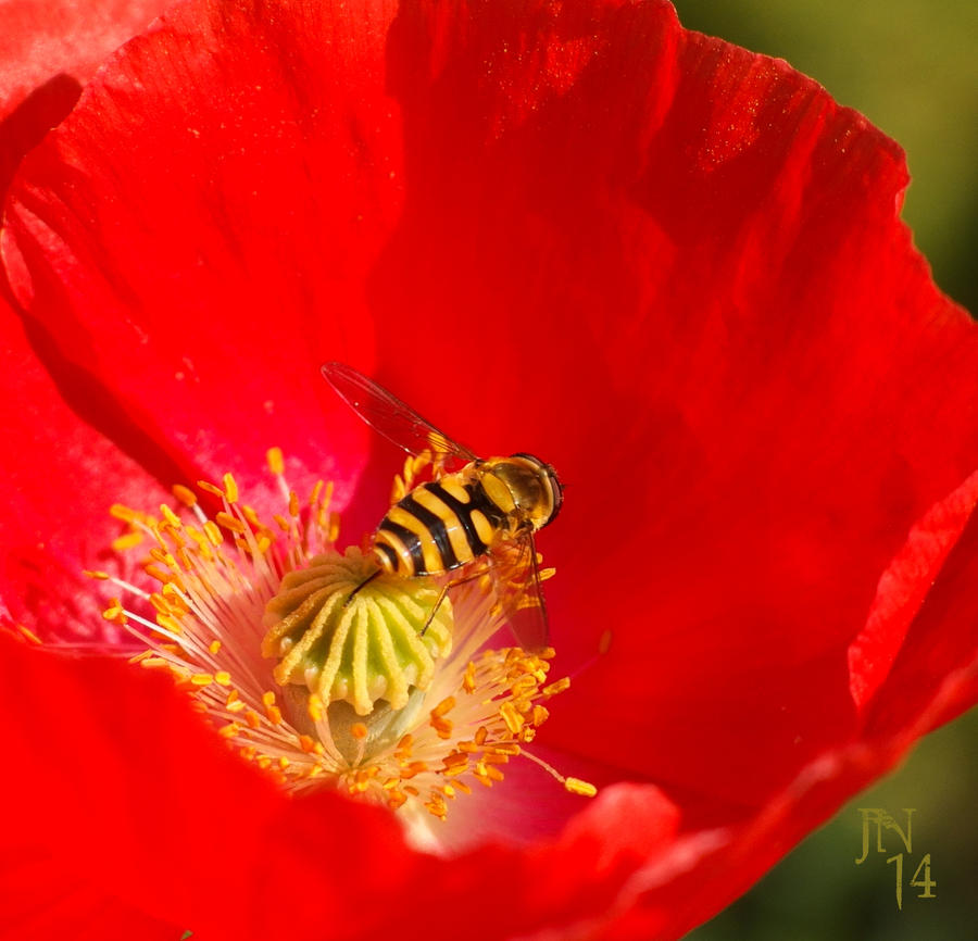 Hoverfly on Poppy by JoannaMoory