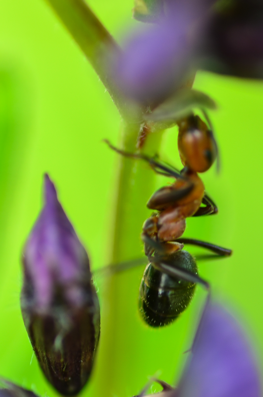 ant macro photography wallpaper - photo #16