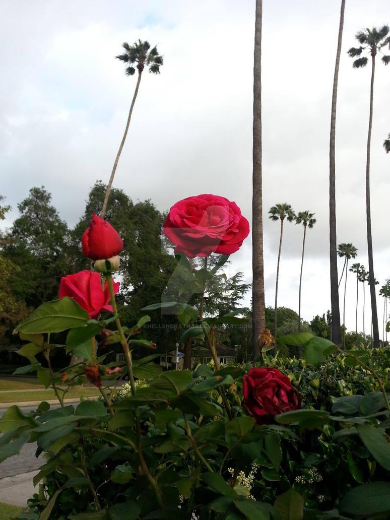 Cali Roses by Khellendrathas