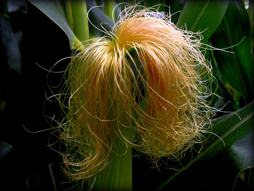 Stock-Corn Silk looks like good hair! by ...