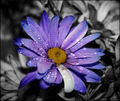 Daisy by Sugaree-33