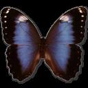 Morpho-achilleana-icon by AudraMBlackburnsArt