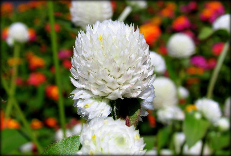 petite fleur blanche by sugaree 33 on deviantart. Black Bedroom Furniture Sets. Home Design Ideas