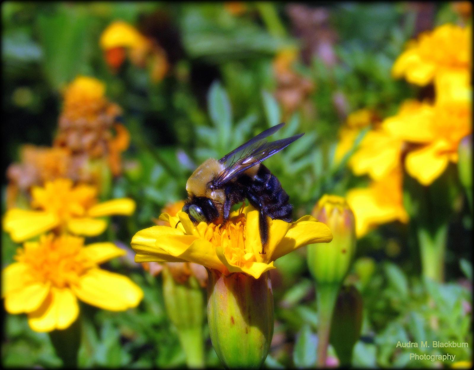 Bee Series 2 by AudraMBlackburnsArt
