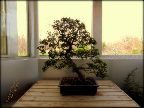 Bonsai Tree by Sugaree-33