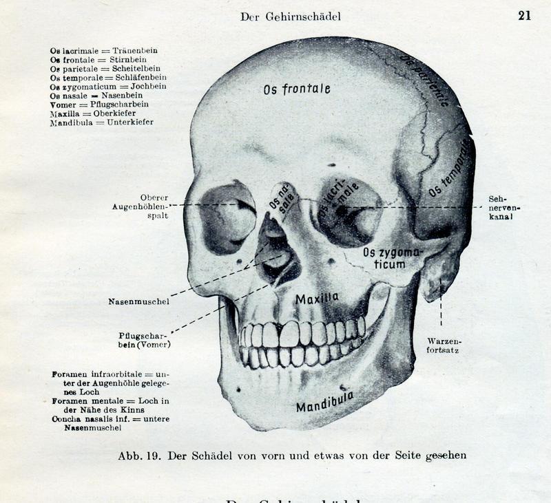 Groß Anatomie Gesichtsknochen Fotos - Anatomie Von Menschlichen ...