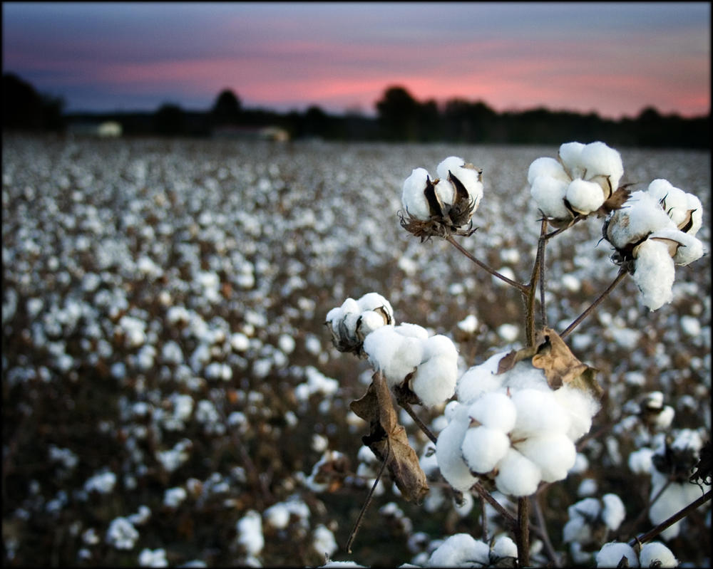 Cotton Field No.2 by existentialdefiance