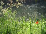 Poppies on the Saar
