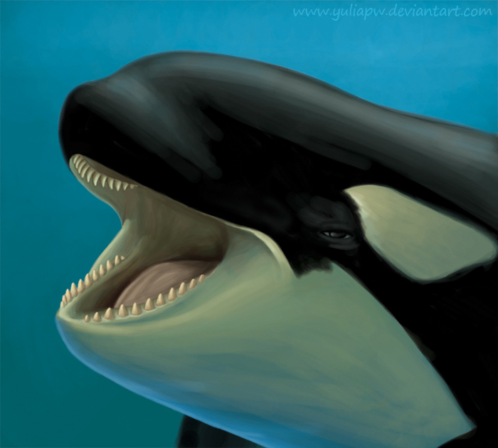 Killer whales eyes located