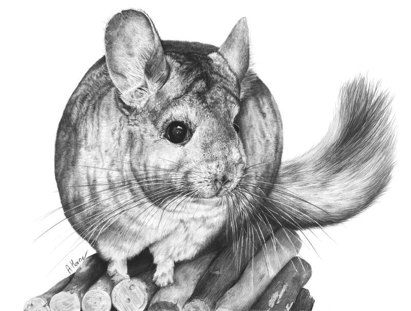 chinchilla by squanpie