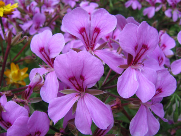 Picture of ivy geraniums