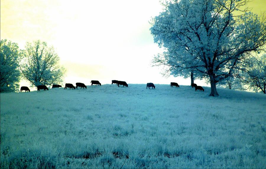 Cows on hillside, wide by harrietsfriend